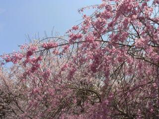 如来寺 桜1