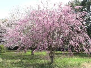 如来寺 桜2